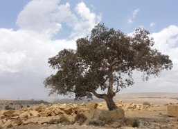 Thousand year old tree growing on rocks alongside the road between Wukro and Mekelle Ethiopia