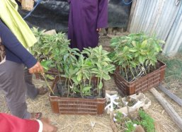 We plant one year old grafted Mango trees