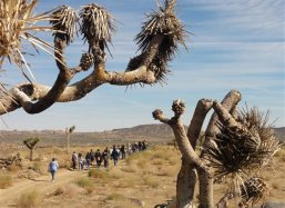 The students walk to the planting place along the burned Joshua Trees