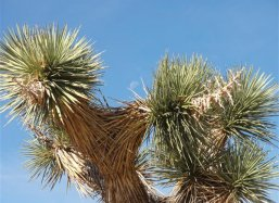 Detail of the Joshua Tree (Yucca brevifolia)