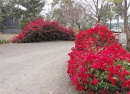 Bougainvillea needs no irrigation