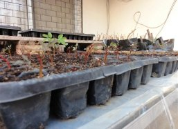 The Moringa is sown in 5 cm deep trays
