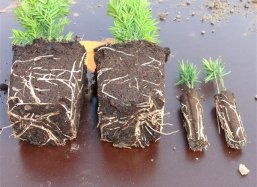 Left destroyed primary roots and right perfect primary roots