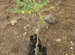 Detail of 2-year old sapling of Frankincense tree (Boswellia sacra)
