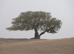 The extreme beauty of a lonely Teek or Fig tree in the middle of the manmade desert of Dhofar province