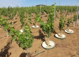 Control of trials with grapes with the Groasis waterboxx in March 2012