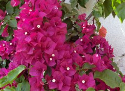 Bougainvillea in Morocco