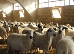 Beautiful indegenous Churra sheep in Fromista Spain.