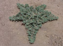 Beautiful plant in Sahara desert Agadir Morocco
