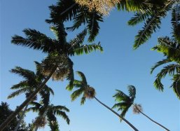 Palm Veitchia winin crossing the sky at Fairchild Tropical Botanical Garden Miami USA