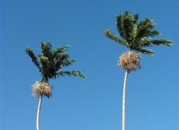Palm Veitchia winin waving in the wind at Fairchild Tropical Botanical Garden Miami USA