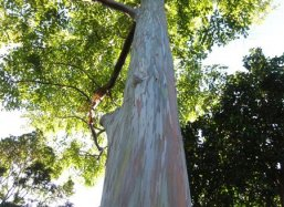 The colourful Rainbow Eucalyptus (Eucalyptus deglupta) at Fairchild Tropical Botanical Garden Miami USA