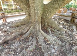 The roots of Manilkara zapota at Fairchild Tropical Botanical Garden Miami USA