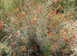 Don't think that deserts are dead places this is the California Fuchsia (Epilobium canum)