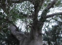 The oldest Baobab tree in the Middle East Zuhaimi Oman