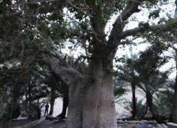The Baobab tree in Oman is thousands of years old