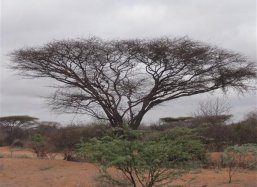 Acacia sun cover in East Kenya along Garissa Rd Kenya