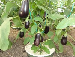 12 The aubergine reacts best to the low watergift. The plant has lots of healthy fruits