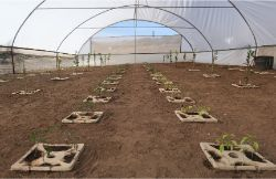 15 Growboxx plant cocoon in Ensenada Mexico planted in a simple plastic tunnel April 24 2018 avg night temp 11 degrees Celsius