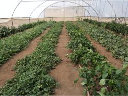 16 Three months later Growboxx plant cocoon Ensenada Mexico in a simple plastic tunnel with trees in combination with vegetables or with vegetables only July 24 2018