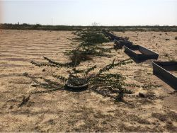 42 Prosopis cineraria result December 20 2013 19 months after planting with Waterboxx in Kuwait without any drip irrigation