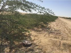 43 Planting the desert in Kuwait with Prosopis cineraria with the Waterboxx plant cocoon without irrigation