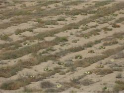 47 Biodegradable Groasis Waterboxx plant cocoon in Los Monegros Desert near Zaragosa Spain