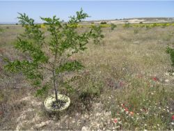 49 Los Monegros Desert Zaragosa Spain The Robinia pseudoacacia planted with Waterboxx plant cocoon is over 2 meters high in 3 years time