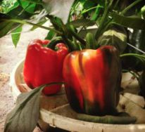 6 Red bell pepper in Groasis Waterboxx plant cocoon