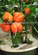 7 Orange bell pepper in Groasis Waterboxx plant cocoon