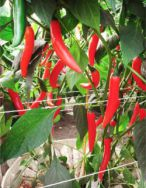 9 Red chili pepper in Groasis Waterboxx plant cocoon